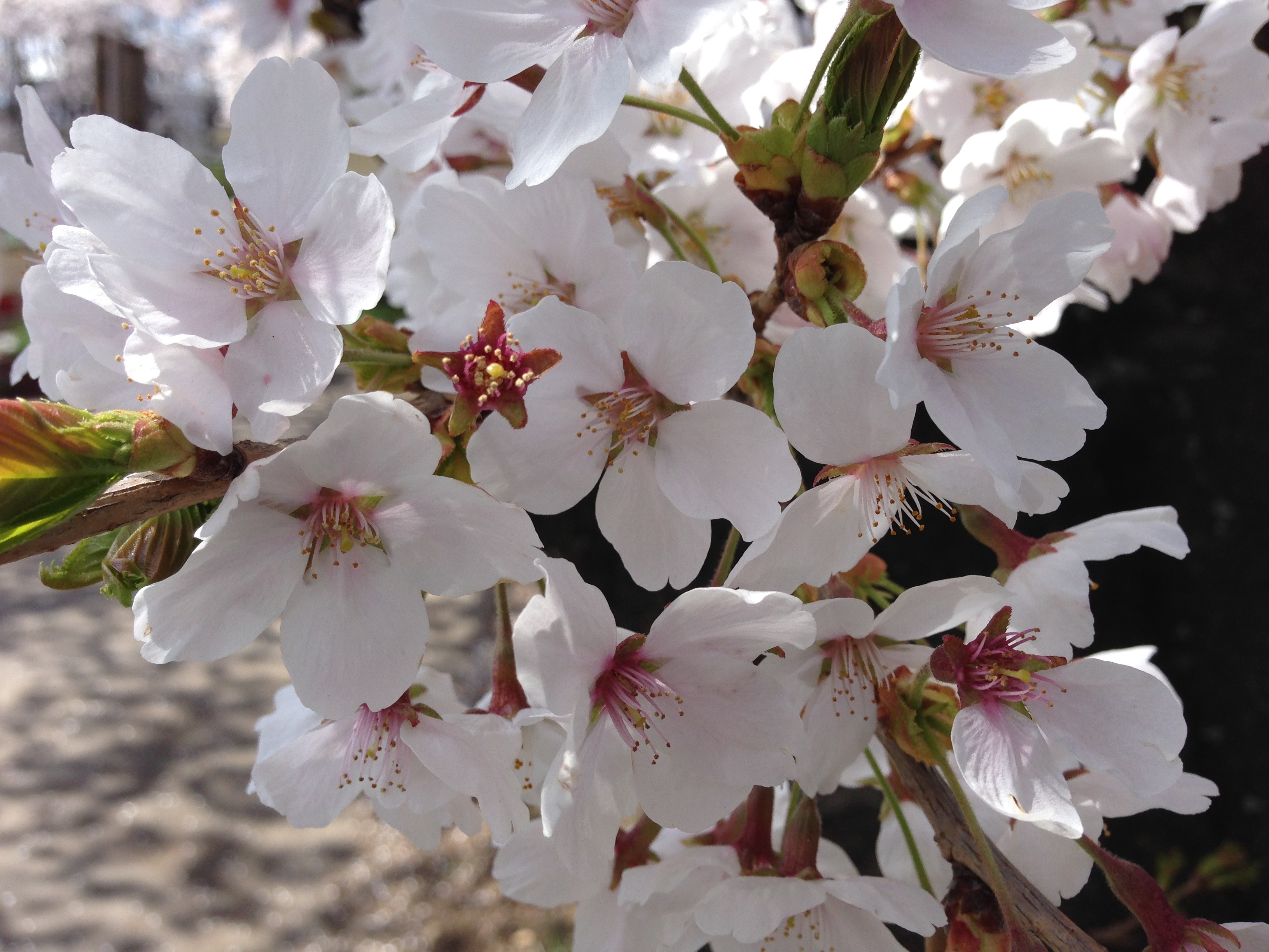今年の桜は早い